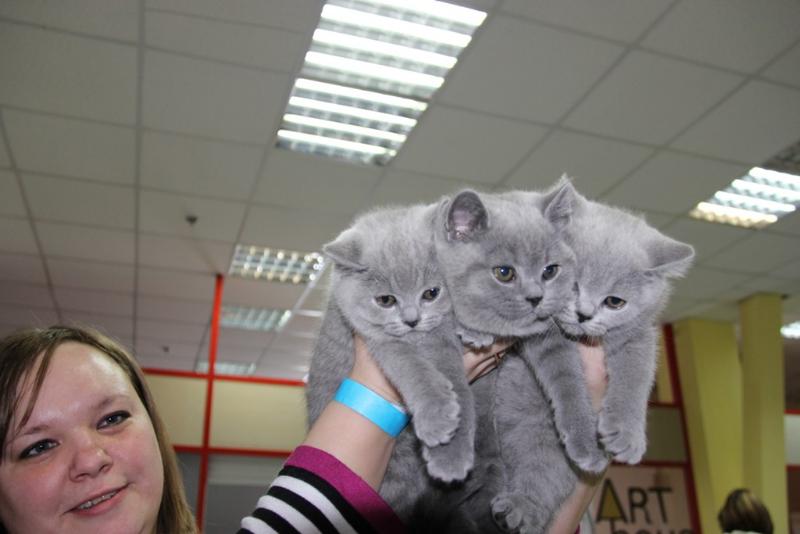 британские котята руки