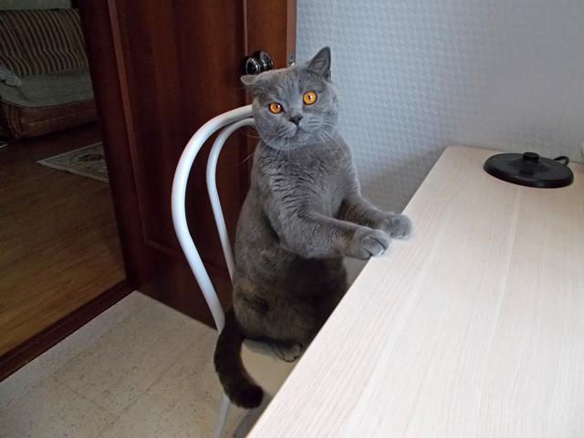Британский кот1