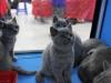 британский котенок Руфина17