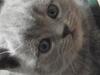 британский котенок Руфина9