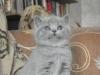 британский котенок Руфина10