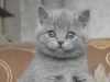 британский котенок Руфина11