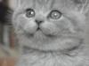британский котенок Руфина12