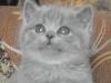 британский котенок Руфина13