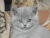 британский котенок Руфина14