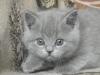 британский котенок Руфина15