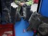 британский котенок Руфина22