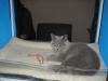 Британская кошка Ачинск6