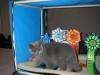Британская кошка Ачинск7