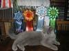 Британская кошка Ачинск9