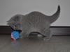 Хеопс британский котенок6