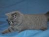 Хеопс британский котенок15