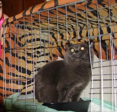 британский кот Икар на ярмарке