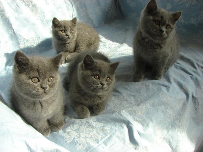 британские котята, пока вместе