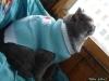 британский кот Ирбис5