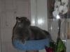 британский кот Ирбис в лежаке6