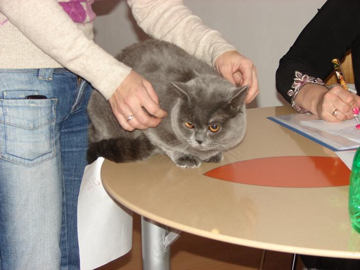 британский кот Ирис на столе