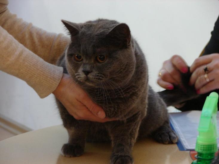 британский кот Ирис у судьи