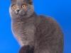 британская кошка Иветта проф