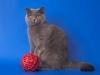 британская кошка Иветта проф2