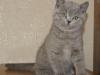 британский кот Зевс7 малыш