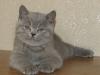 британский кот Зевс6 малыш