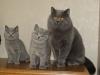 британский кот Зевс5 с сестрой