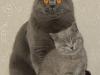 британский кот Зевс4 с папой