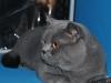 британский кот 7-zevs-v-kl
