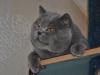 британский кот -zevs-i-shheki
