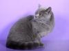 британский кот Зевс1