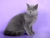 британский кот Зевс8
