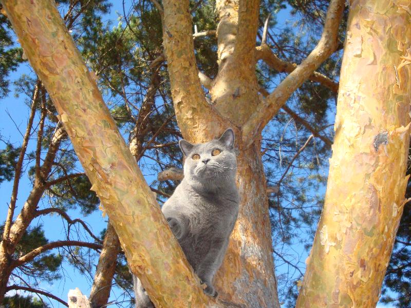 британский кот Леон на сосне