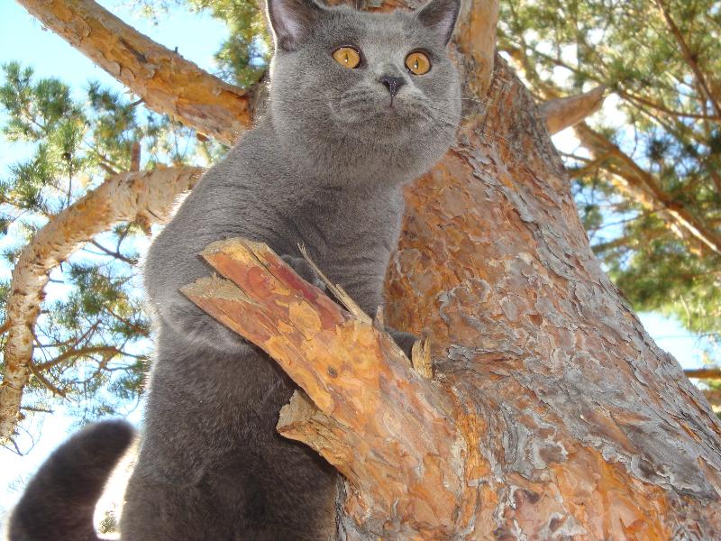 британский кот Леон на суку