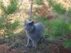британский кот Леон в лесу