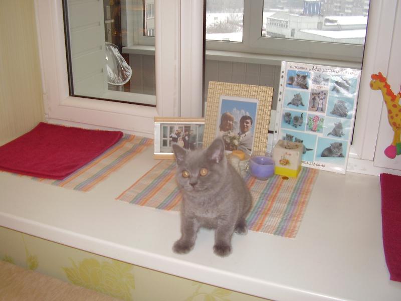 британский кот Лир