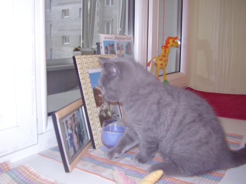 британский кот Лир6