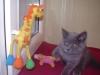 британский кот Лир3