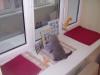 британский кот Лир5