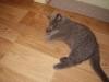 британский кот Лир7