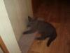 британский кот Лир8