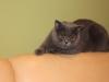 британская кошка Лола лапка