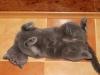 британская кошка Лола отдых
