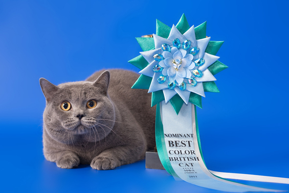 британский кот Милий розетка