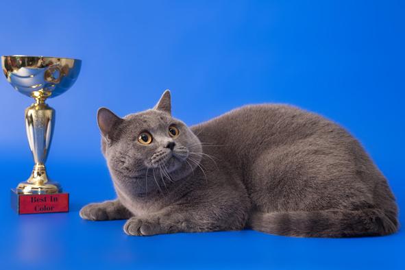 британский кот Милий кубок