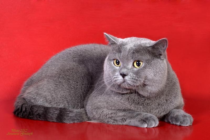 британский кот Милий красном