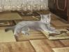 британская кошка1