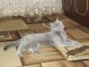 британская кошка2