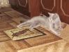 британская кошка3