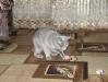 британская кошка4